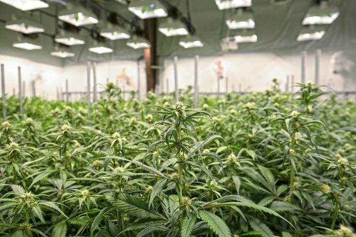 Rows of cannabis plants in an indoor greenhouse with lights overhead.