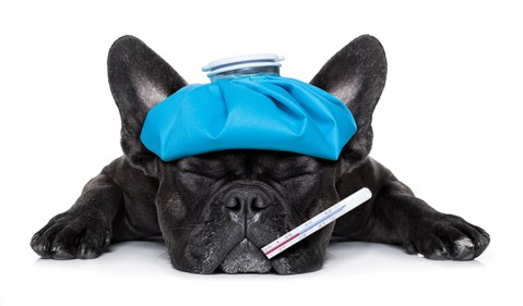 Terrier pup looking sick with a thermometer in its mouth