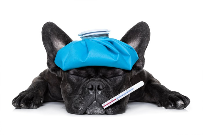 Terrier pup with a hot water bottle on its head and a thermometer in its mouth