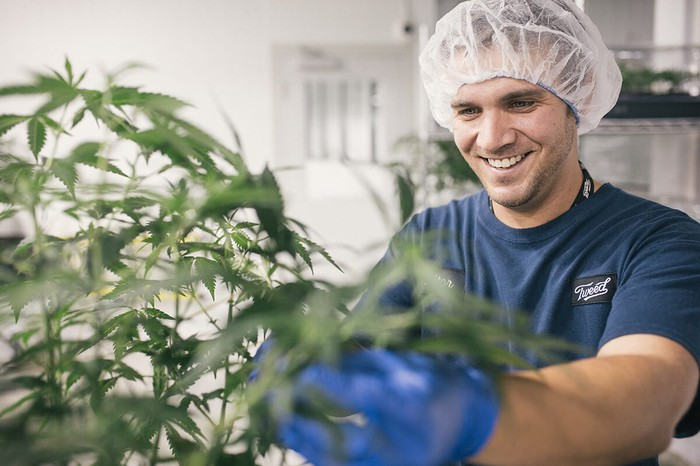 Worker wearing hair net and blue gloves working next to a cannabis plant.