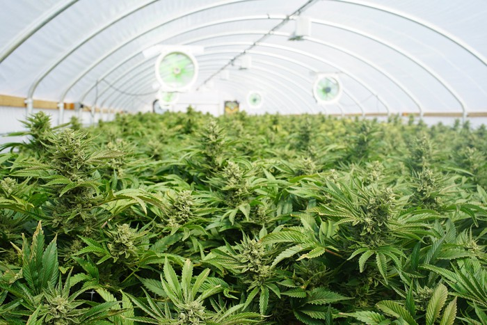 Inside of greenhouse with rows of cannabis plants and lighting and fans.