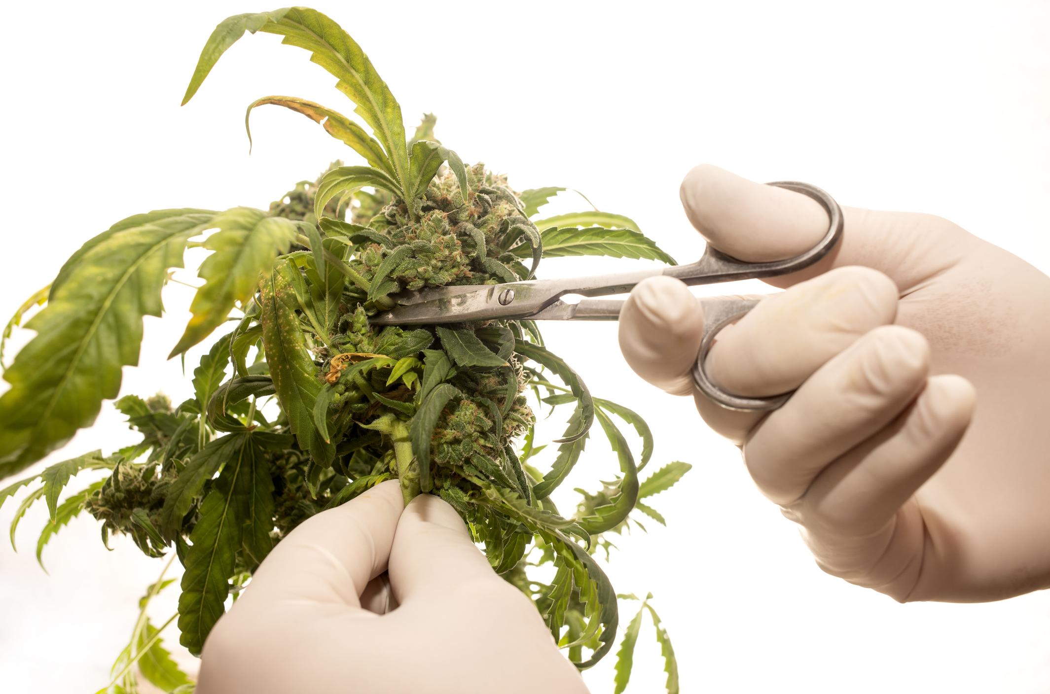 Hands holding scissors to trim cannabis plant.