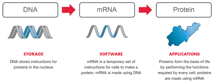 Diagram of relationship between DNA, mRNA, and proteins.
