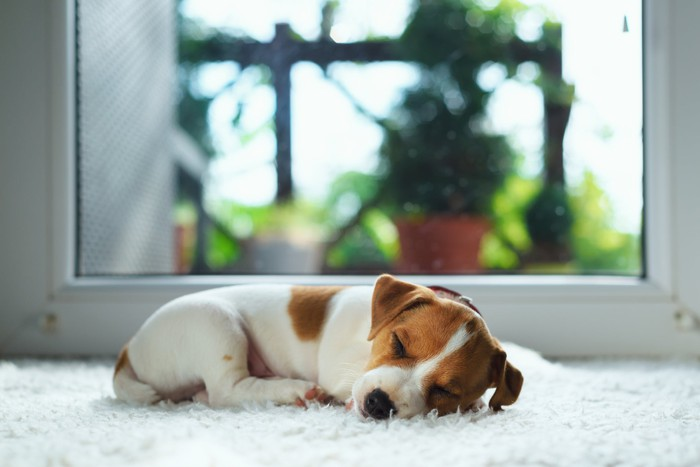 A brown and white puppy curled up on the floor and sleeping.