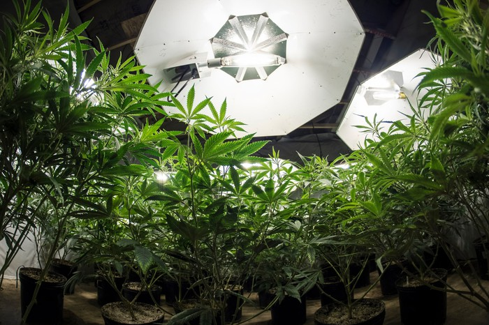 Potted cannabis plants growing an indoor setting under special lighting.