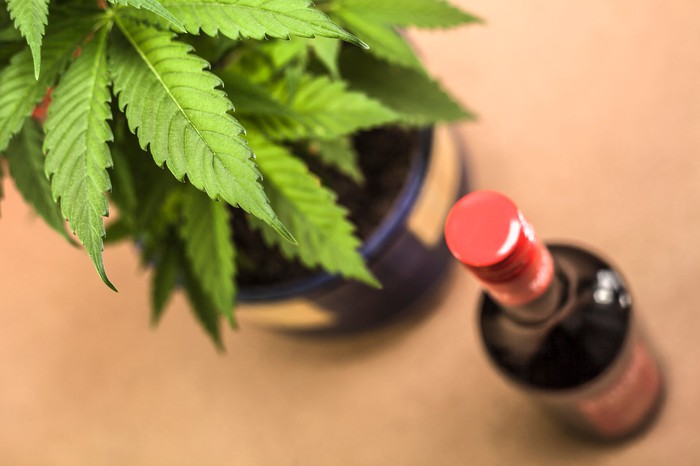 A potted cannabis plant next to a bottle of alcohol on a counter.