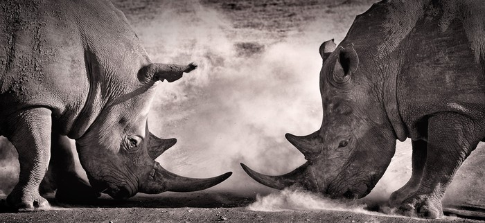 Two rhinoceros with their horns pointing toward each other