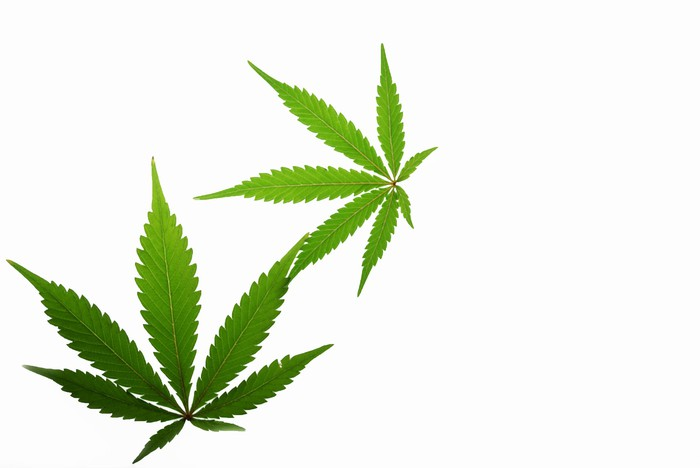 Two marijuana leaves on a white background.