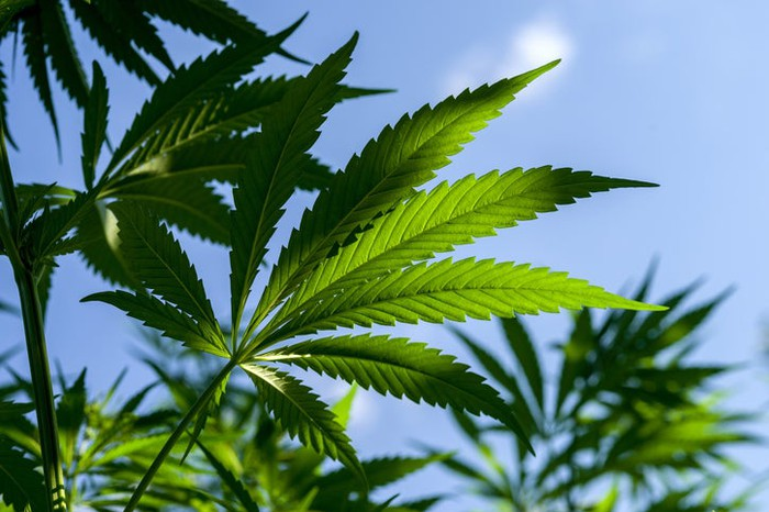 Close-ups of several marijuana plants with blue sky in background.