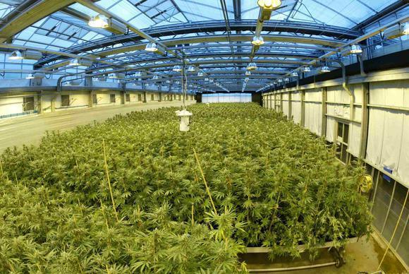 Marijuana growing at a GW Pharmaceuticals greenhouse.