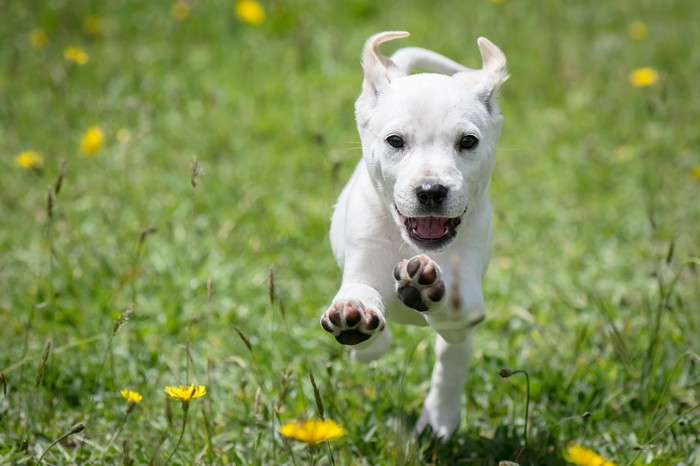 Smiling puppy running towards the camera.