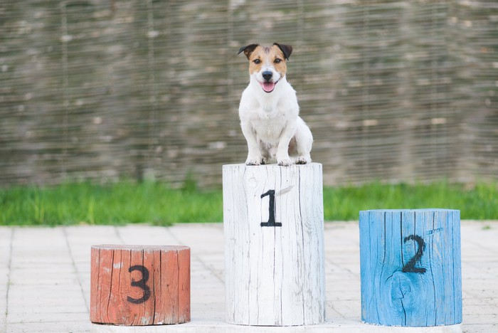 Smiling dog on a first place pedestal.