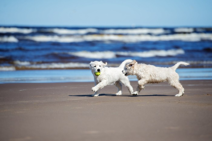 Dogs chasing each other on a beach.