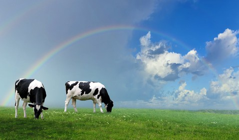 Two cows under a rainbow