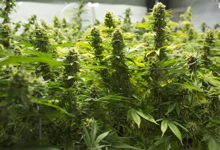 Marijuana plants in a greenhouse.