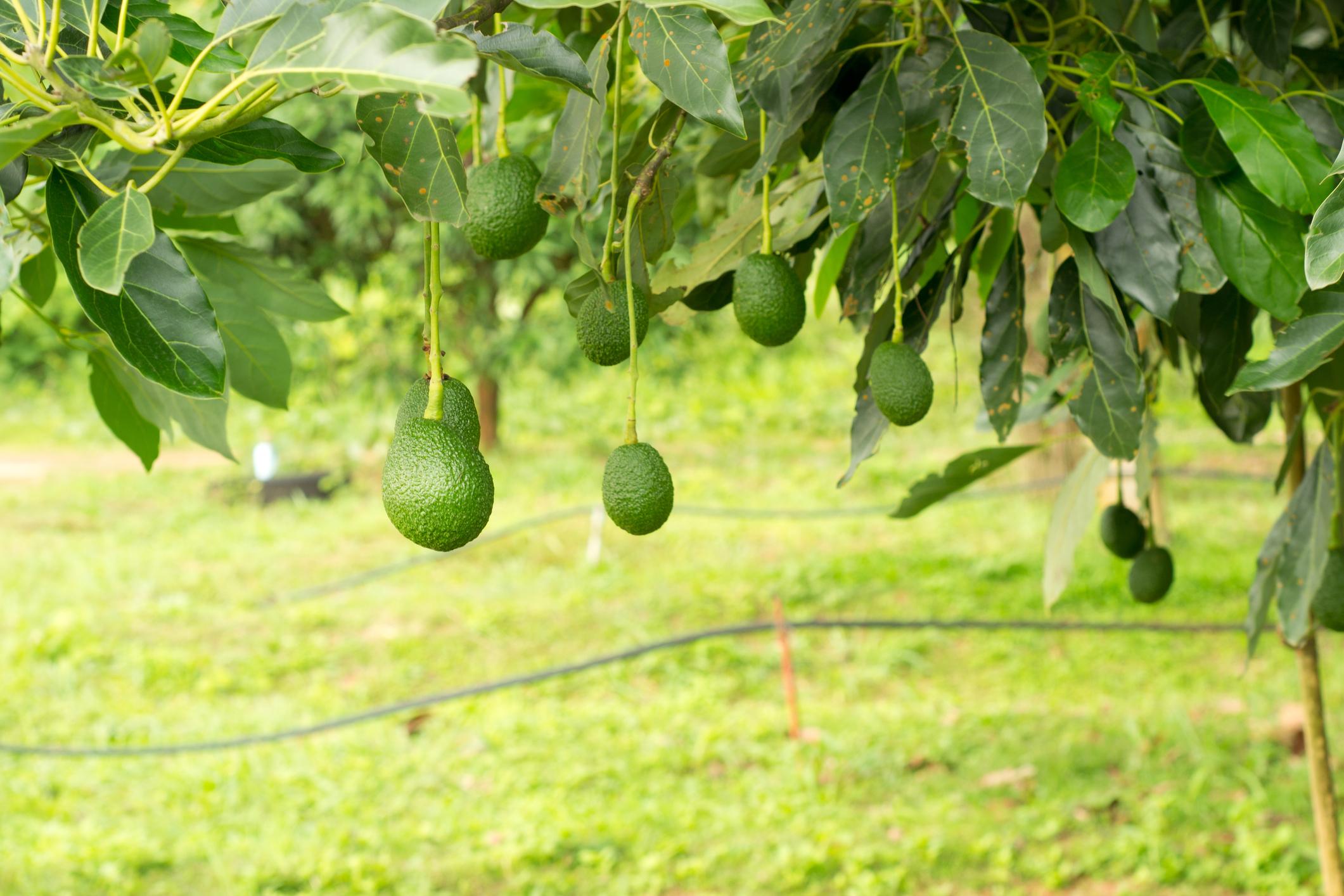 Ripe avocados growing on a tree.
