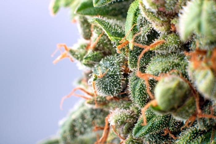 Close up image of a marijuana flower.
