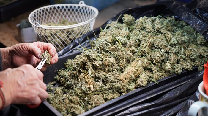 Person trimming cannabis flower.
