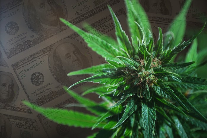 A marijuana plant in the foreground. $100 bills in the background.