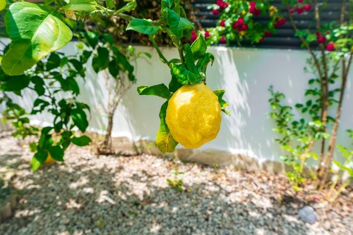 A lemon hanging from a lemon tree in a garden.