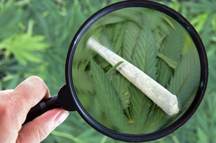 A person looks at a joint on marijuana leaves through a magnifying glass