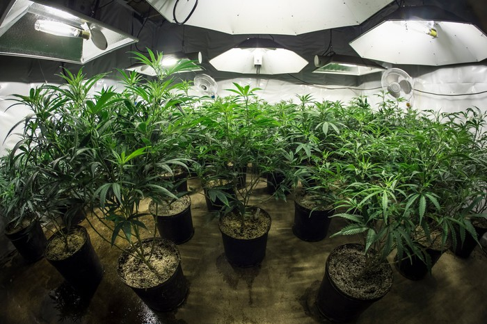 Potted cannabis plants growing in an indoor grow room under special lighting.
