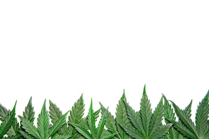 Cannabis leaves.