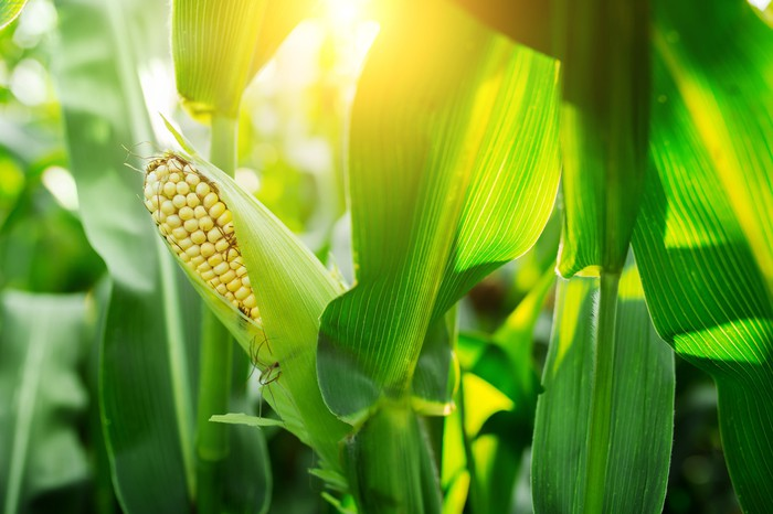 An ear of corn in a cornfield