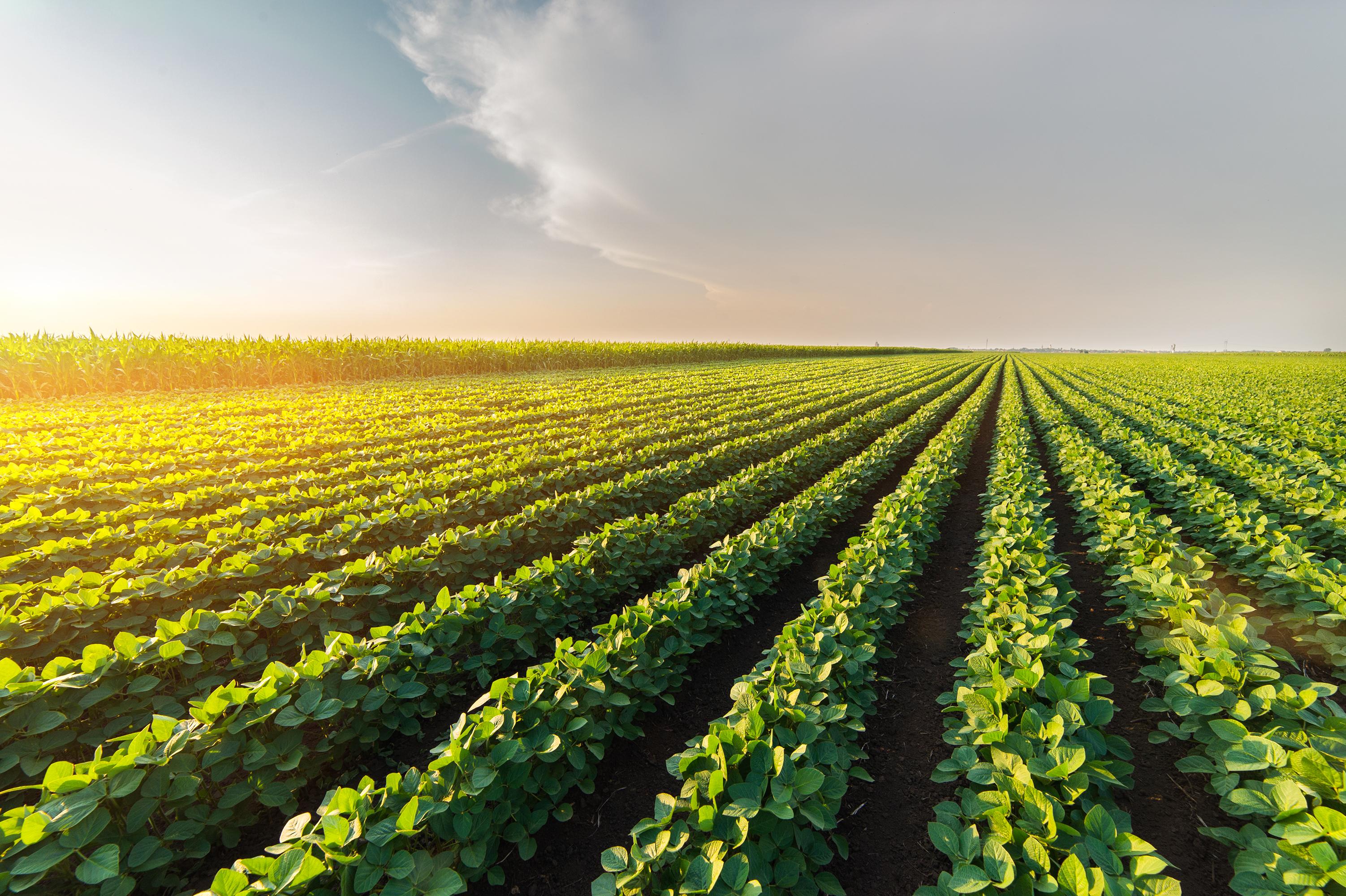 A soybean field.