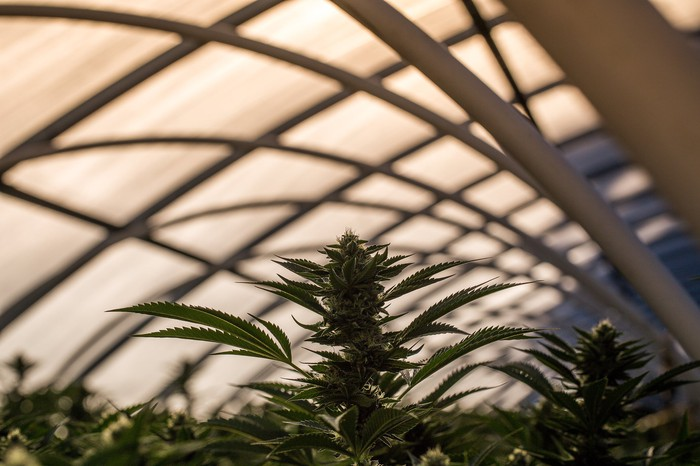 Marijuana plants growing in a greenhouse