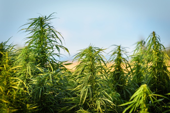 A stand of cannabis plants growing outdoors.