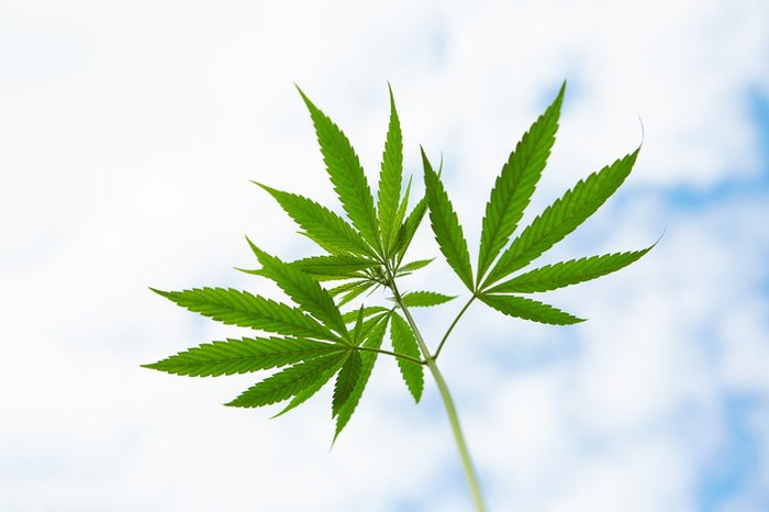 Close-up of three cannabis leaves with cloudy blue sky in background.