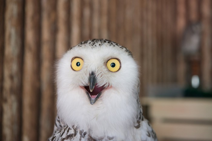 A white owl with yellow eyes makes a funny surprised expression.