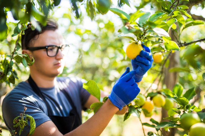 A young farmer examines healthy lemons in a grove for any signs of disease.