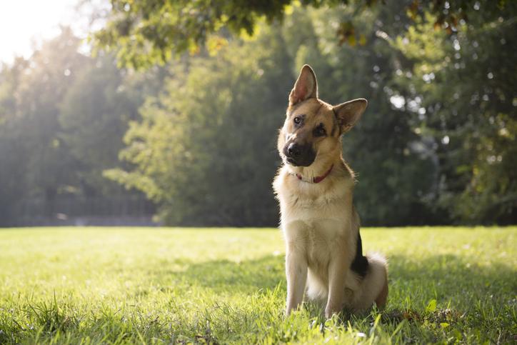 A German shepherd.