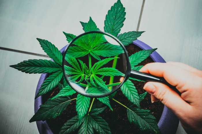 A person holding a magnifying glass over a potted cannabis plant.