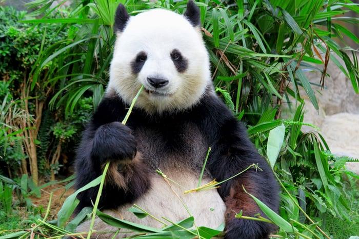 A panda eating.