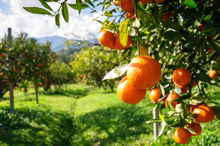 Orange trees growing in rows.
