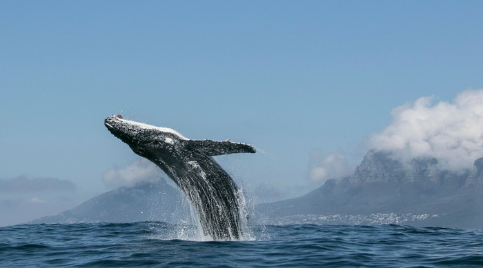 A humpback whale breaching in the ocean under a cloudy sky.