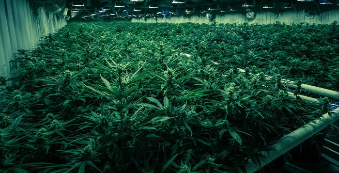 Dark greenhouse with dim lighting and rows of shelves of cannabis plants.