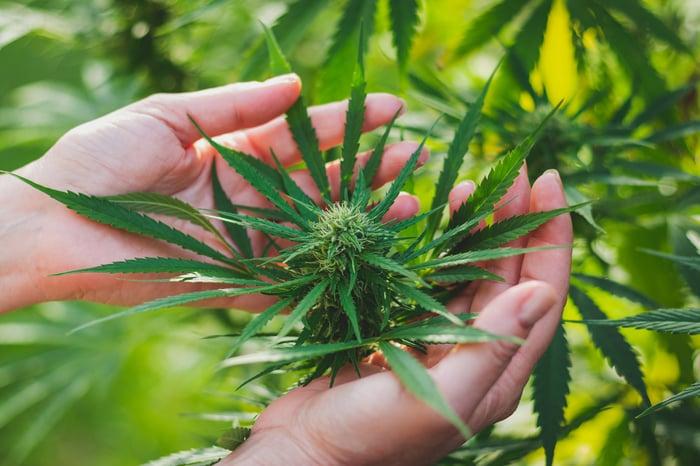 Marijuana bud in hands