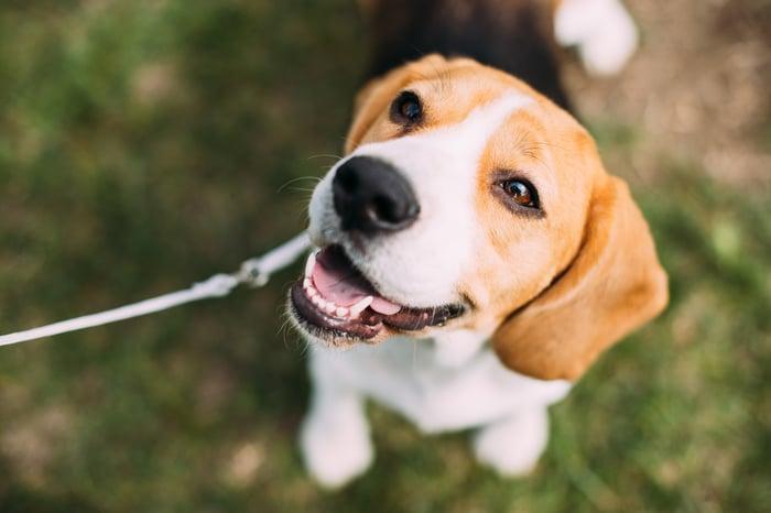 A beagle staring up at the camera