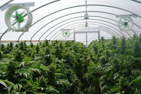Marijuana growing inside a greenhouse.