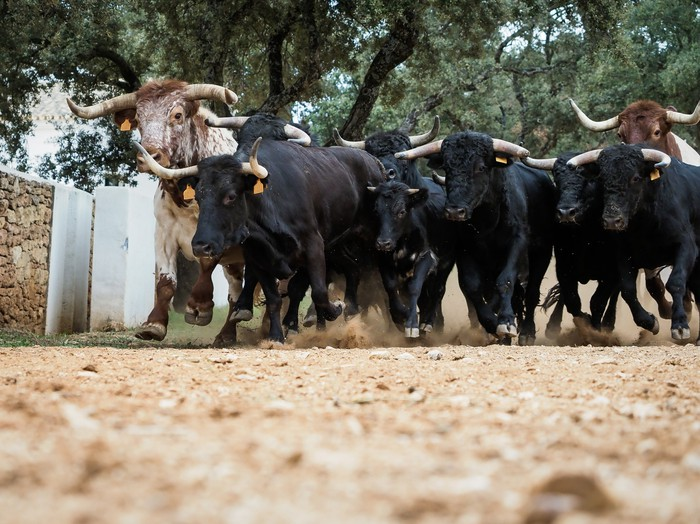 Bulls running in Pamplona Spain