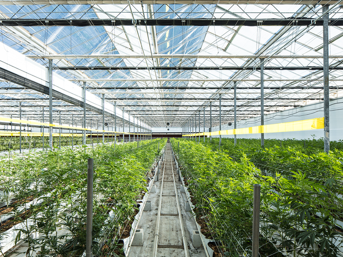 Greenhouse facility with rows of cannabis plants growing.