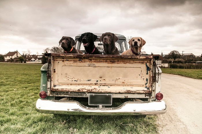 Four dogs in the back of an old truck.