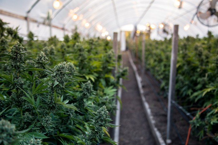 Rows of marijuana plants growing inside a greenhouse.