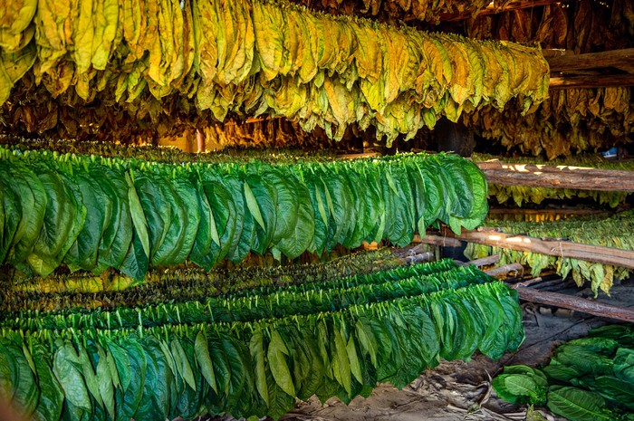 Tobacco leaf drying on hangers and shelves.
