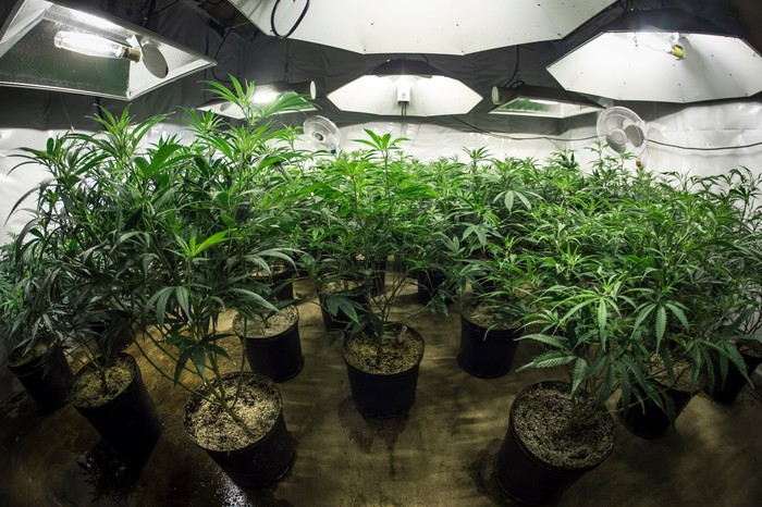 Marijuana plants in a marijuana grow room.