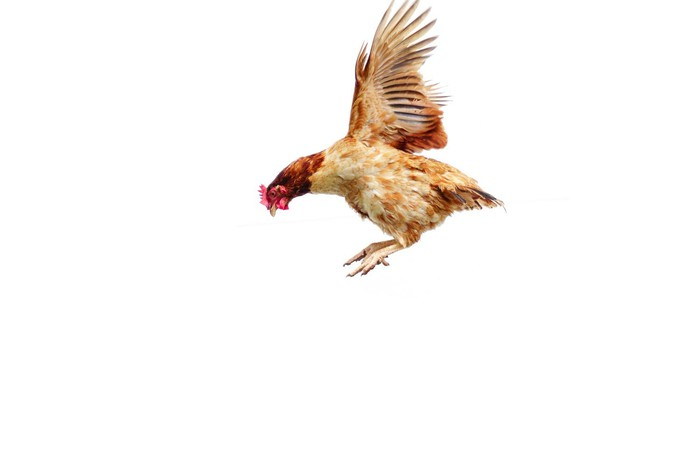 A chicken flapping its wings.
